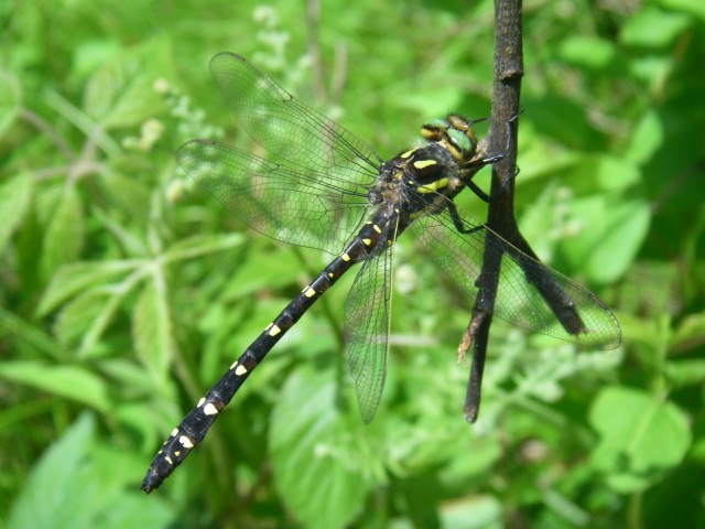 The very cool Dragonhunter (Hagenius brevistylus) I found clinging to a swaying branch in the backyard.
